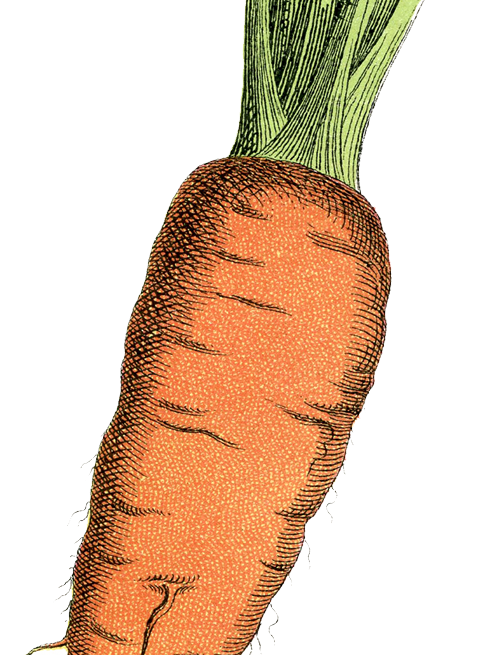 illustration carrot